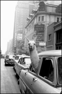 A Llama in Times Square. New York City, USA.