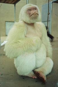 Southern Hemisphere (White Gorilla Photo)