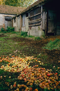 Apples in the Farmyard