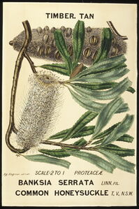 Botanical illustration of Banksia serrata (Common Honeysuckle)