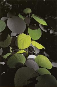 Study of Green - Wide Leaf (ed. 1/3)