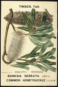 Botanical illustration of Banksia serrata (Common Honeysuckle)