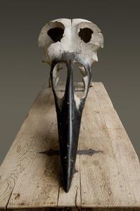 Crâne d'Oiseau