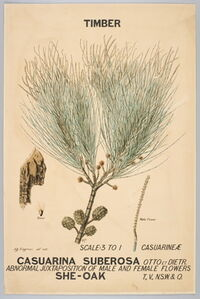Botanical illustration of Casuarina suberosa (She-Oak)