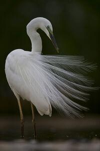 Egret Feathers