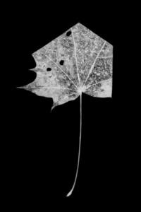 leaf-cut 01
