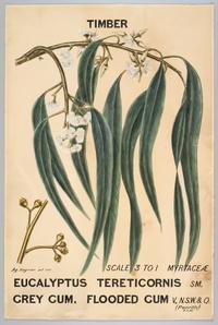 Botanical illustration of  Eucalyptus tereticornis (Grey Gum. Flooded Gum)