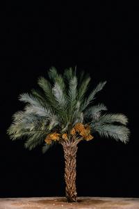 Tamar #2 (Date Palm)