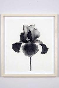 Untitled (Black Iris)