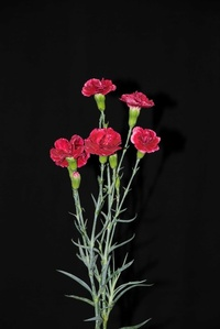 Deep red Mini Carnations / Tuesday, March 25, 2008 / Tehran / Islamic Republic of Iran