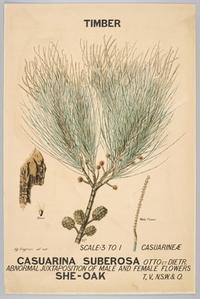Botanical illustration of Casuarina suberosa (She-Oak)
