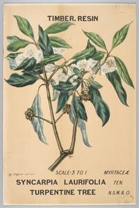 Botanical illustration of Syncarpia laurifolia (Turpintine Tree)