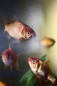 Domestic Goldfish