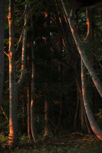 Forest Interior (Aomori)