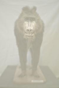 Madrillus Sphinx