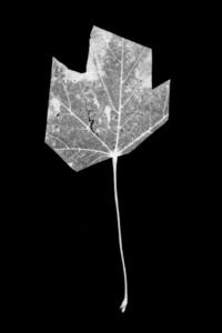 Leaf-cut 03