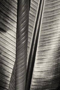 Two Leaves, Moorea