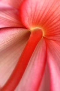 Begonia Back