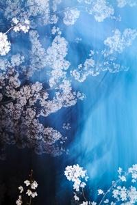 Sakura 013