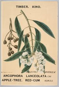 Watercolour, botanical drawing, Angophora lanceolata (Apple-Tree. Red-Gum)