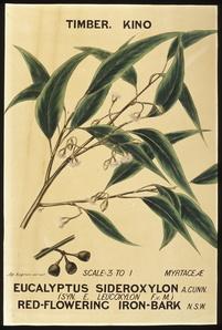Botanical illustration, ' Eucalyptus sideroxylon (Red-flowering Iron Bark)', by Agard Hagman