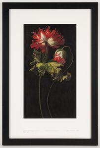 Opium Poppy c. 1645 (Simon Pietersz. Verelst 1644-1710, detail)