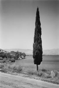 Cypress tree, Kinneret