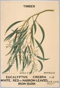 Botanical illustration of Eucalyptus crebra (White, Red or Narrow-Leaved Iron-Bark)