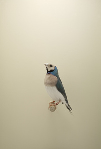Gouldian Finch #2, from The Incomplete Dictionary of Show Birds