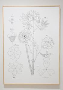 PIT#8 S PAEONIA LACTIFLORA (PEONY)