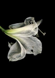Untitled (Amarili Hippeastrum white)