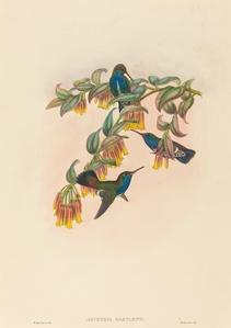 Agyrtria bartletti (Bartlett's Emerald)