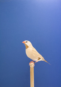 Parson Finch #1, from The Incomplete Dictionary of Show Birds