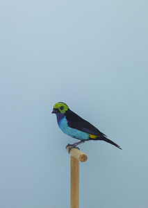 Paradise Tanager #1