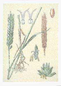 Laslo Poaceae