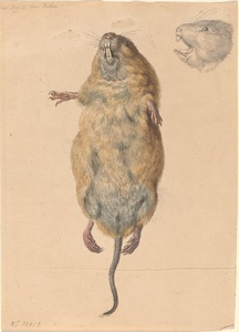 A Field Mouse, from Below