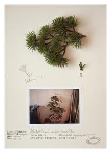 Expedição Shanghai: Herbário de plantas artificiais, Pino Bonsai