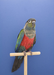 Conures #2, from The Incomplete Dictionary of Show Birds