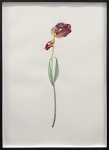 Tulip Orange and Red