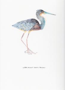 Garceta Tricolor (Egretta Tricolor)