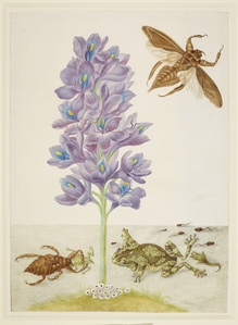 Water Hyacinth with Marbled or Veined Tree-Frogs and Giant Water-Bugs