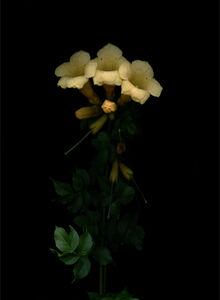 Goldene Trompete (Campsis radicans Flava)