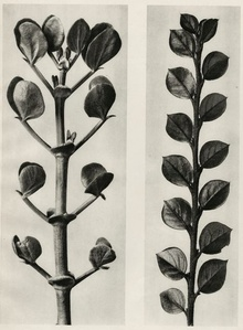 Plate 113 - a.Zygophyllum fabago, Common Cotoneaster b. Cotoneaster integer