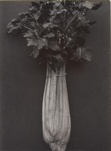 Celery Wright's White