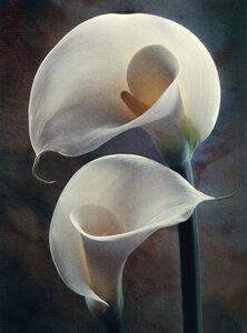 Yin Yang Lilies