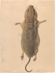 A Field Mouse, from Above