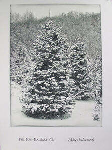 Fig. 108 - Balsam Fir