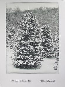 Fig. 108 - Balsam Fir
