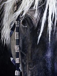 Chief / Rocky Mountain Horse