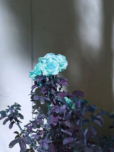 Cyan Rose